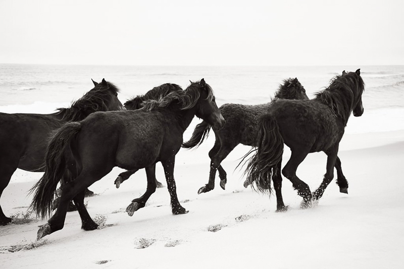 www.lacavalieremasquee.com | The Horses of the Sable Island by Drew Doggett